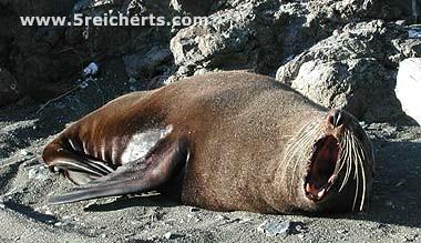 Seelöwe wird wach