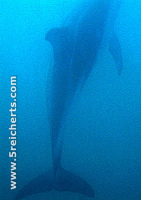 Dusky unter Wasser