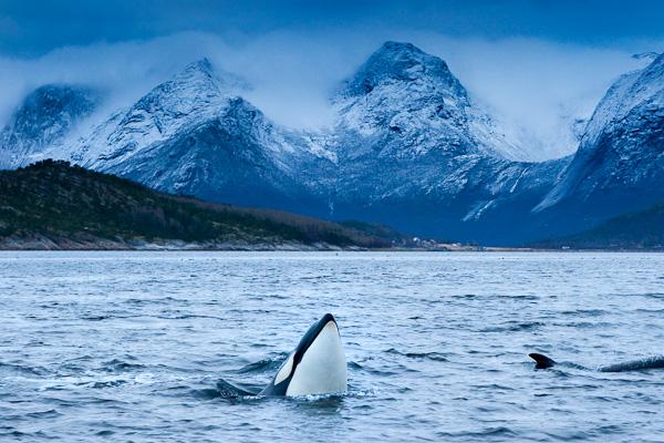Orca an einem regnerischen, trüben Tag, Tysfjord, Norwegen