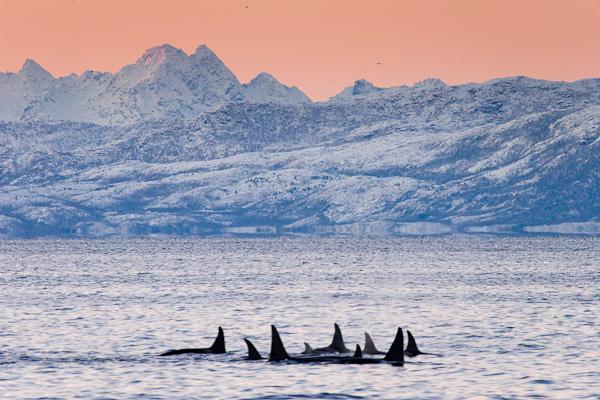 eine Gruppe Orcas in wunderbarer winterlicher Fjordstimmung