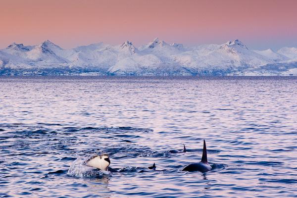 Orcas im Tysfjord