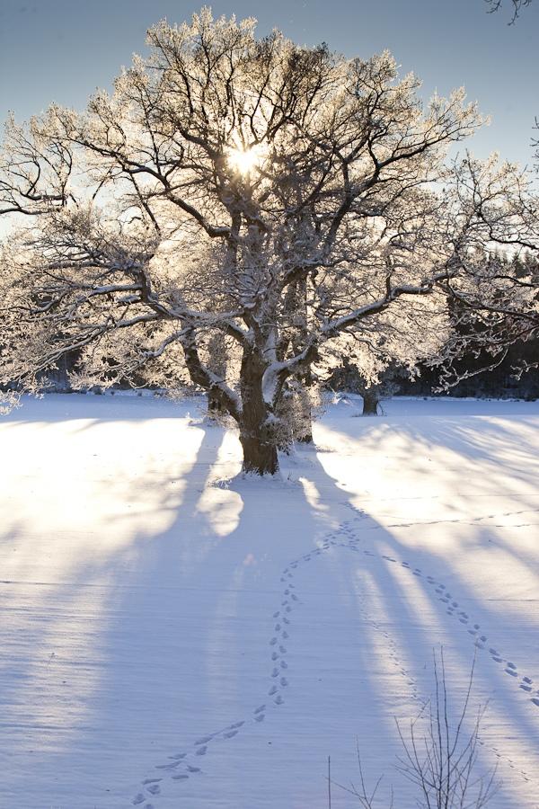 alte Eichen, die schneien