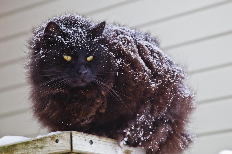 norwegische Katze im Schnee