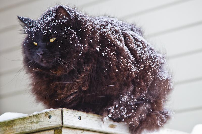 norwegische Waldkatze im Schnee