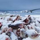 Viel Schnee, frischer Fisch und Ruhe auf der Insel Sauoya, Lofoten