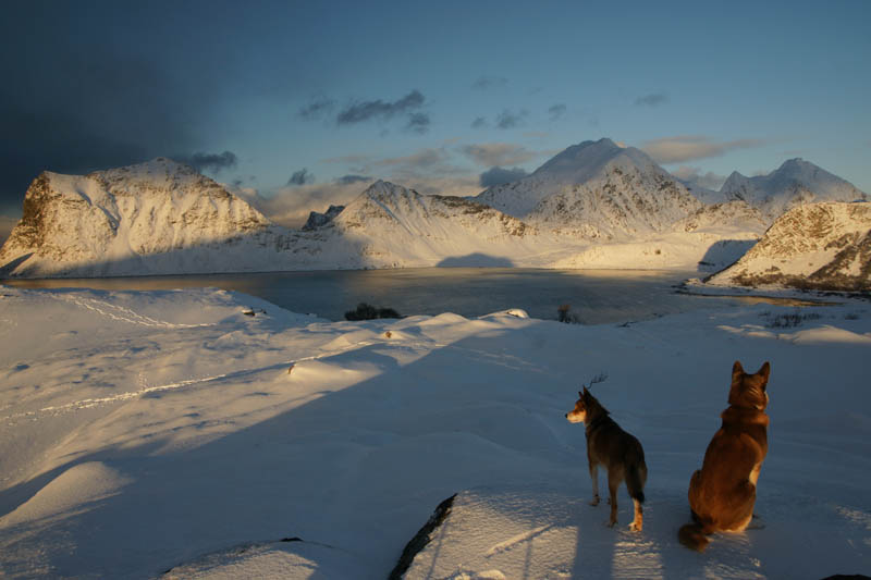 Hunde auf den Lofoten
