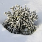 vor dem Sneglehuset - Korallen im Schnee