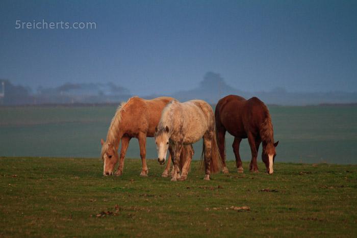Drei Pferde auf der Belle Ile