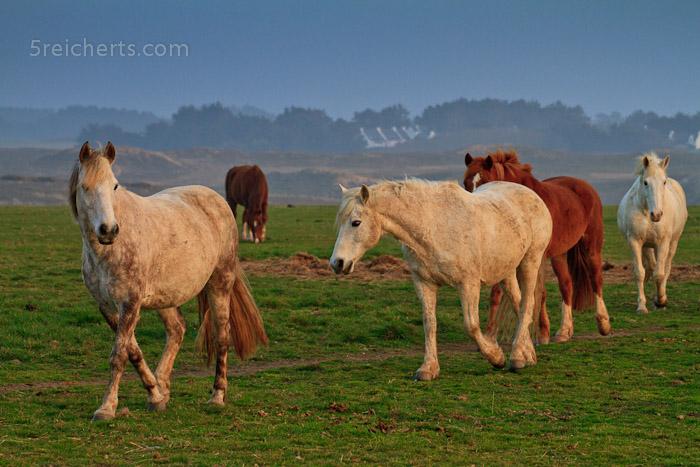 Pferde auf der Belle Ile