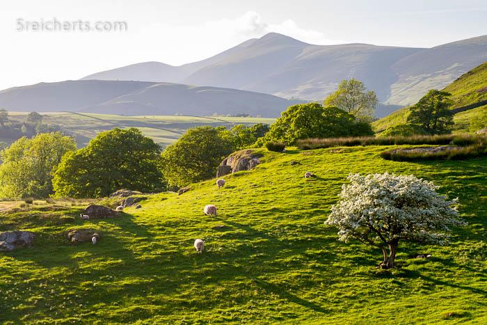 blühende Baüme und Schafe