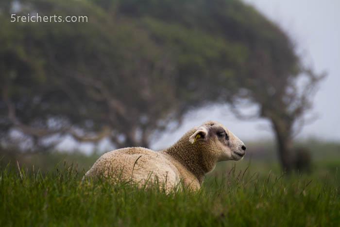 Schaf im Nebel