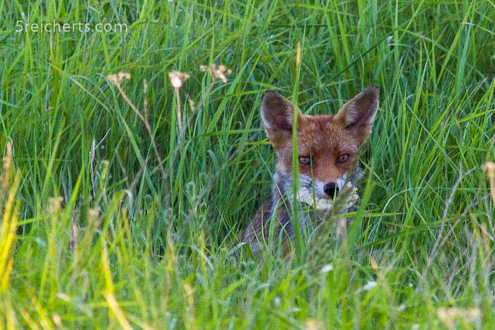 scheuer Fuchs, Pevensy Bay, England