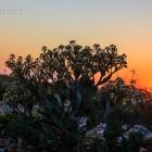 Strandkohl im Sonnenuntergang
