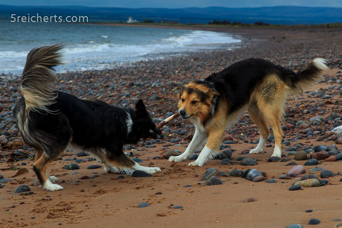 Border Collies am Strand, Schottland