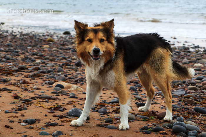 Border Collie, Schottland