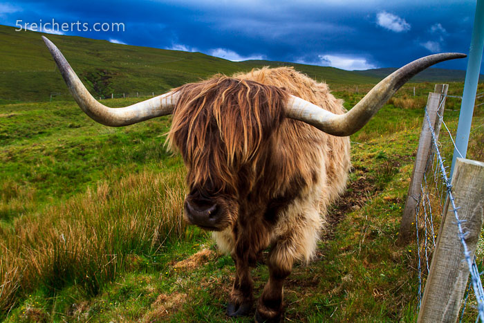 ein Highland Rind