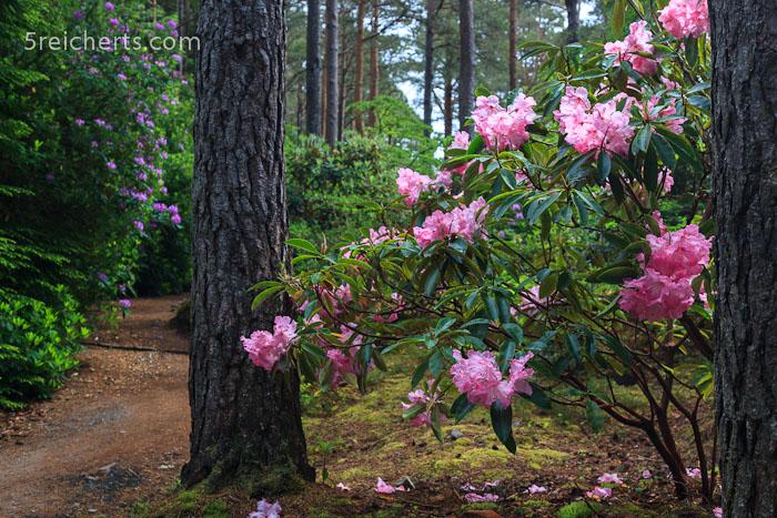 Rhododentron im Inverewe Garden