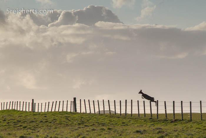 ein Reh springt über den Zaun