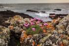 Strandgrasnelken