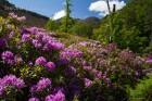 ein Tal voller Rhododentren - herrlich!