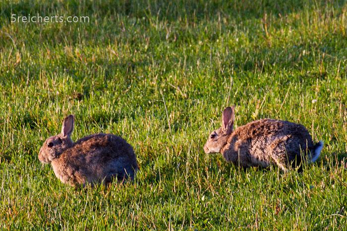 Kanninchen am morgen - diese bösen Biester haben am Castle so viele Löcher gebuddelt, ich habe mir in einem grasgetarnten Loch den Knöchel verstaucht!