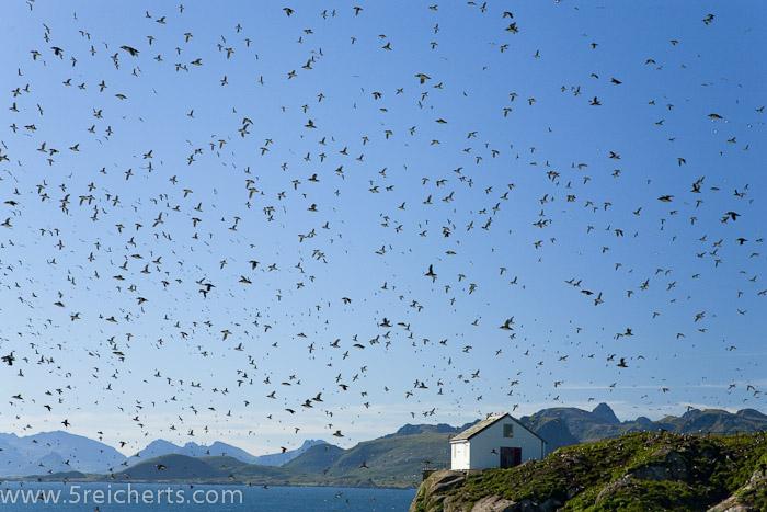 dieses Foto verdeutlicht die Anzahl Puffins auf der Insel - es brüten etwa 10 000 Puffinpaare