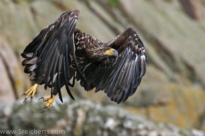 ein junger Seeadler auf Anda, vom Zodia aufgenommen