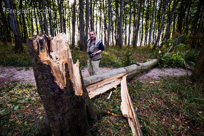 frisch gefallener Baum, Jasmund, Insel Rügen