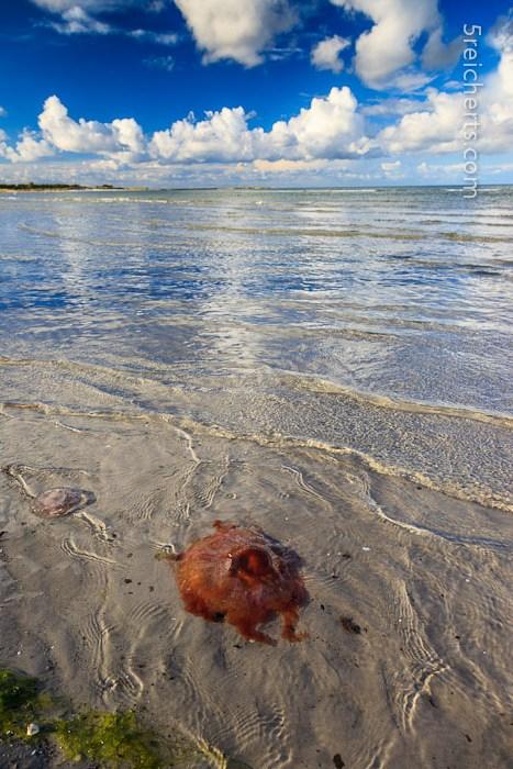Qualle im klaren Wasser der Ostsee, Prerow