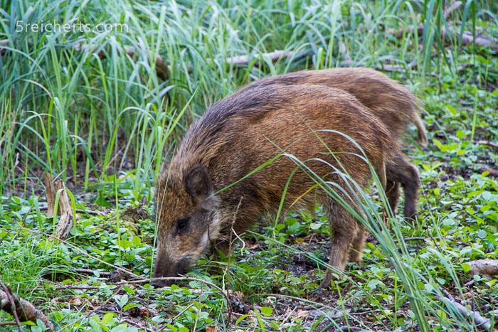 Wildschweine im Wald, Prerow