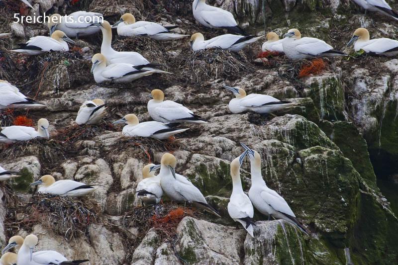 Basstölpel Kolonie, Sept Iles, Bretagne