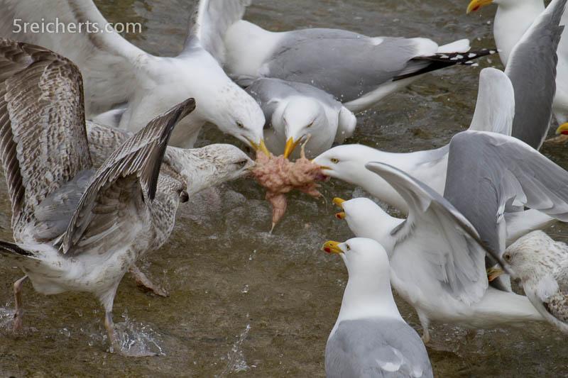 der Kampf um die besten Fischinnereien, Belle Ile, Bretagne