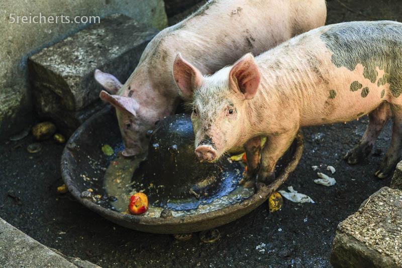 die Schweine bekommen die Lebensmittelreste der Camper, Cornwall