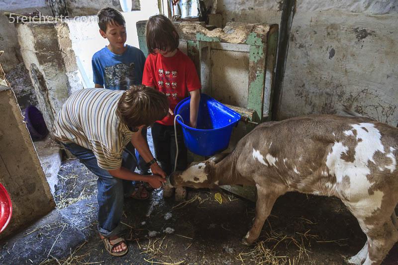 Füttern des Kälbchens, Cornwall