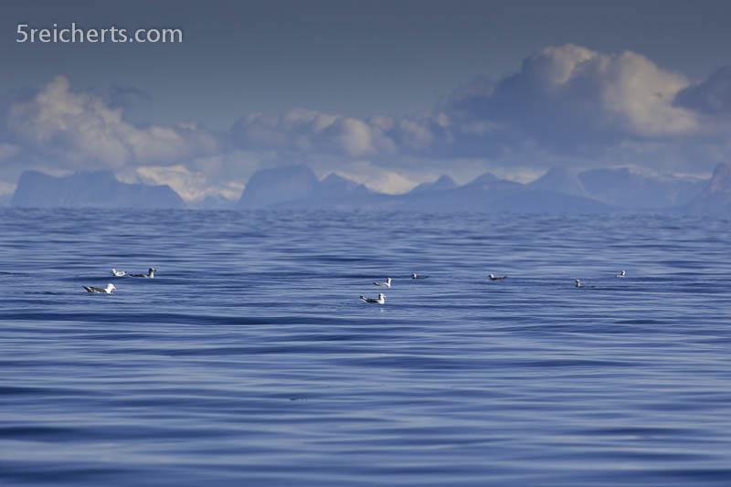 Möwen auf dem Wasser, Vestfjord, Lofoten, Norwegen