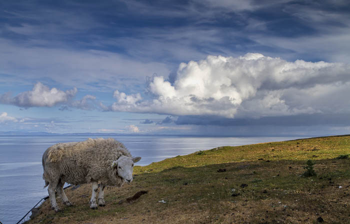 schottisches Schaf