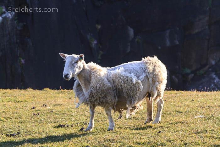 der Wolle überdrüssiges Schaf, Neist Point, Schottland