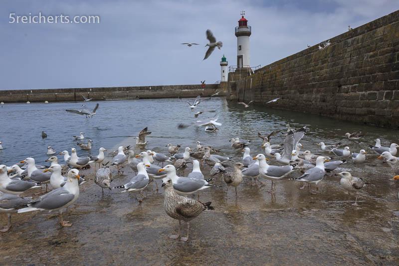 Möwen lauen auf Fischabfälle, Le Plais, Belle Ile, Bretagne