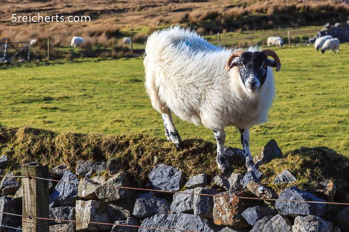 Schaf auf der Mauer