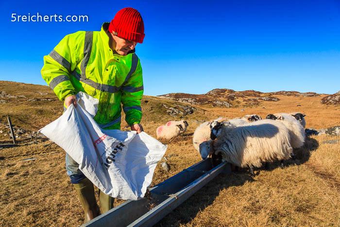 Die Winterfütterung der Schafe