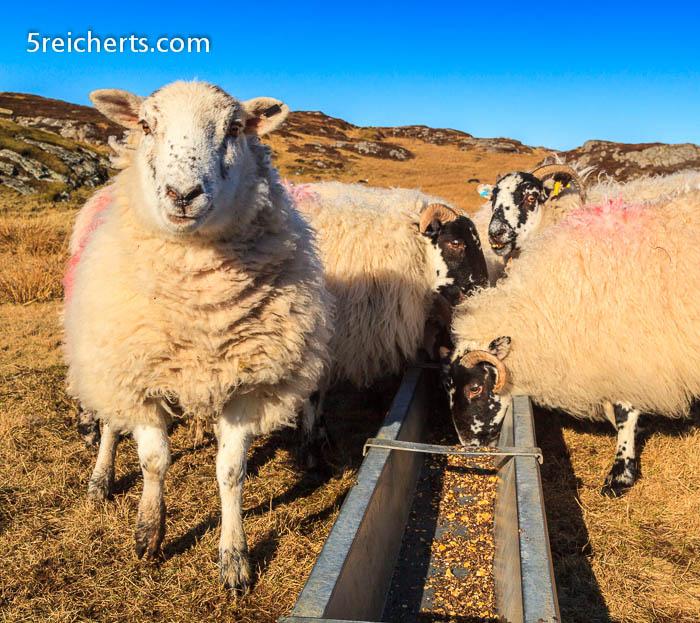 Das Lieblingsschaf, Isle of Lewis