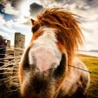 Shetland Pony, Bressay