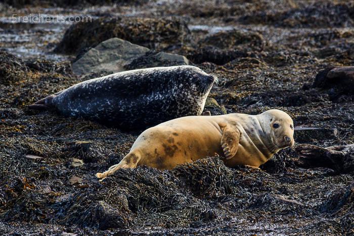 Robben im Yachthafen, Bressay