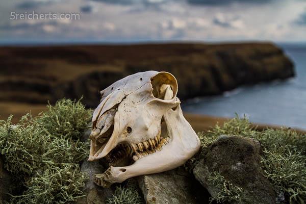 Exschaft auf der Mauer, Shetland