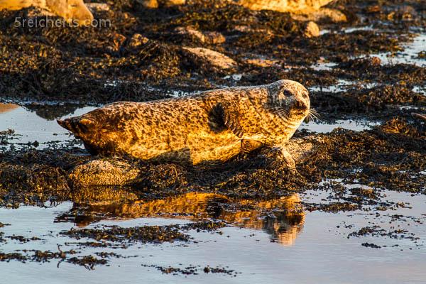 Robbe im Abendlicht, Bressay, Shetland