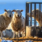 Schafe, Eshaness, Shetland