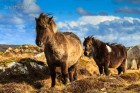 Sheltand Ponies, Unst