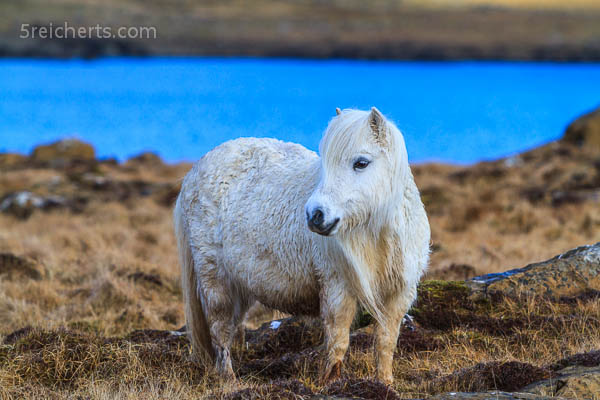 Shetland Pony, Unst