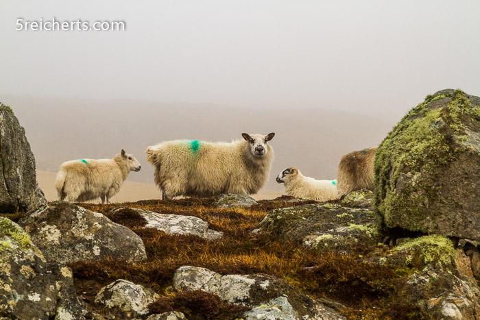 Schafe im Nebel, Isle of Lewis