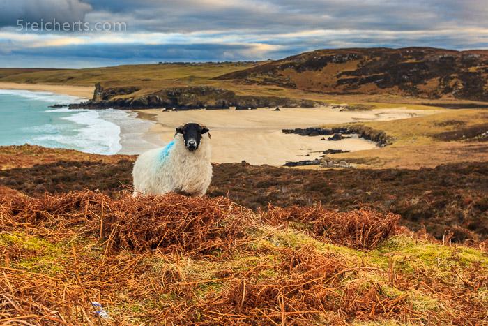 Schaf und Strand